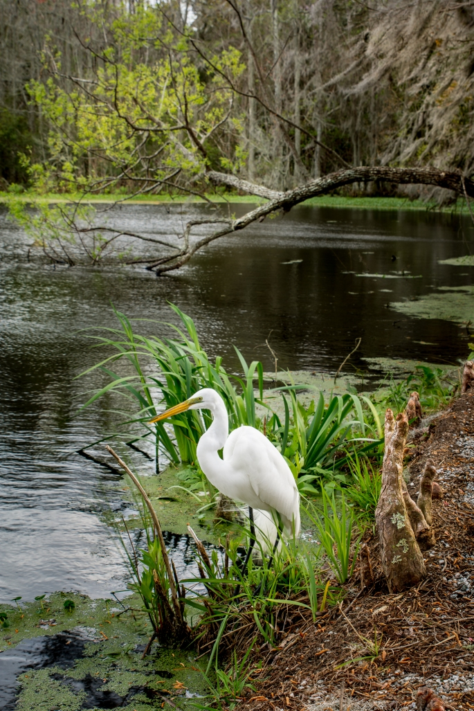 Egret at Audubon Swamp Gardeon, Magnolia Plantation