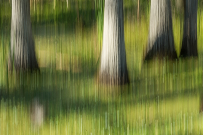 Bald Cypress Trees in the Swamp